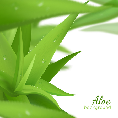 aloe vera plant: Fresh green aloe vera leaves on white background with text realistic vector illustration Illustration