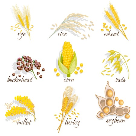 grains: Cereals icon set with rye rice wheat corn oats millet soybean ear of grain vector illustration Illustration