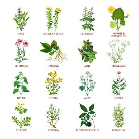 Set di icone piane di colore guarigione erbe con nome utilizzando, in pratica, medicinali e illustrazione vettoriale fitoterapia