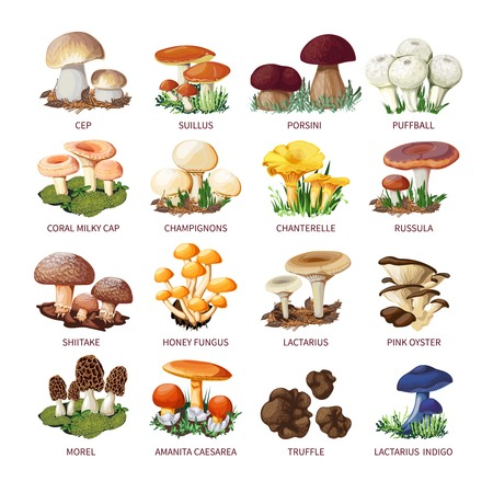 Colorful forest wild collection of assorted edible mushrooms and toadstools with names in cartoon style isolated vector illustration Vectores