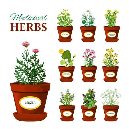liquorice: Set of medical herbs in pots with labels of leuzea sage mint mother and stepmother tutsan echinacea isolated vector illustration