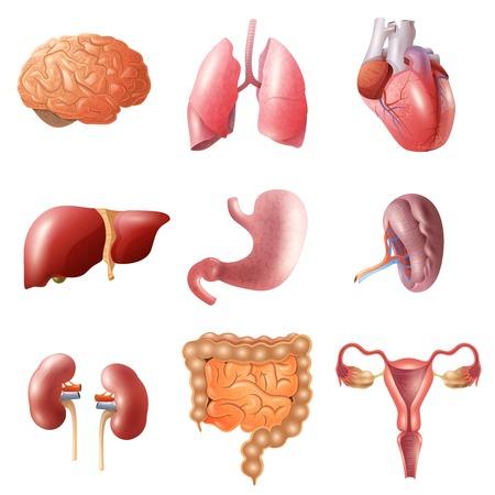 higado humano: Diferentes órganos humanos planos establecidos con los intestinos del corazón cerebro ya los pulmones del estómago riñones aislados sobre fondo blanco ilustración vectorial