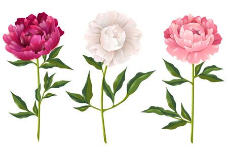 Roze en witte pioenen realistische reeks voor decoratie geïsoleerde vectorillustratie
