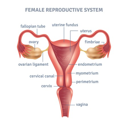 Cartel médica útero con el esquema del sistema reproductor femenino sobre fondo blanco ilustración vectorial plana Foto de archivo - 60299418