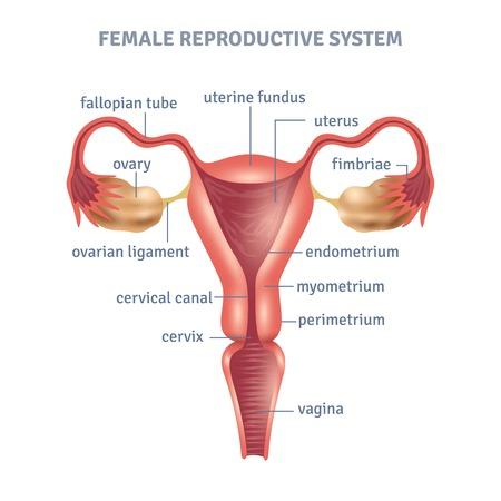 apparato riproduttore: manifesto medico Utero con la femmina schema sistema riproduttivo su sfondo bianco illustrazione vettoriale piatta Vettoriali