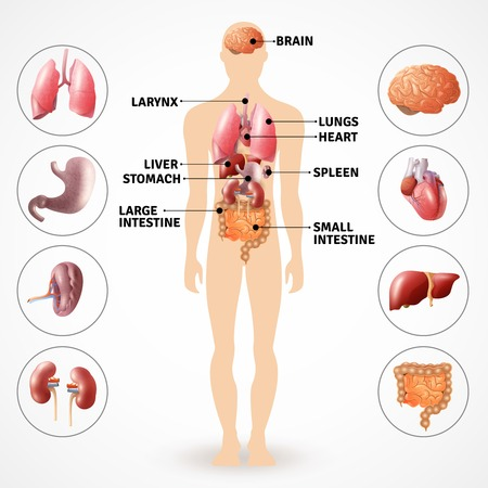 Plakat przedstawiający medyczne ludzkiej anatomii narządów wewnętrznych na jasnym tle ilustracji wektorowych płaskim