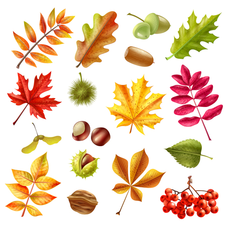 acorn seed: Beautiful colorful autumn leaves from different trees chestnut ashberries and acorn set isolated on white background flat vector illustration