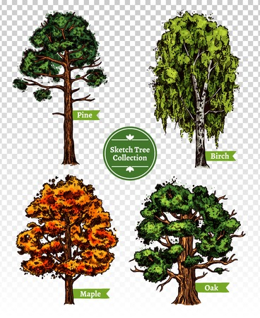 oak trees: Four colorful deciduous sketch trees set with maple oak birch and pine isolated on transparent background doodle vector illustration Illustration