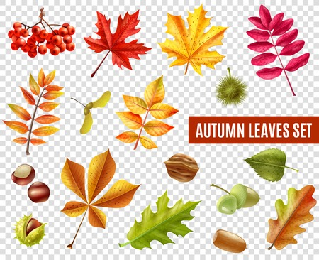 seeds: Colorful autumn leaves from different trees chestnuts rowan and acorns isolated on transparent background flat vector illustration