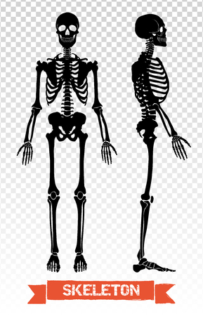 Two black human skeleton silhouettes front and side view isolated on transparent background flat vector illustration Illustration