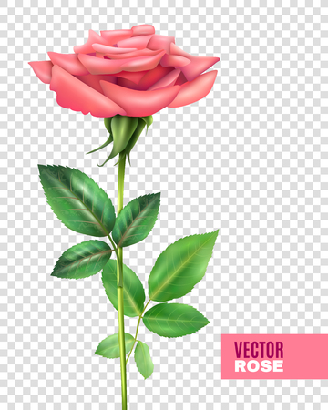 pink rose: Realistic tender blooming pink rose with beautiful petals and green stalk and leaves on transparent background vector illustration