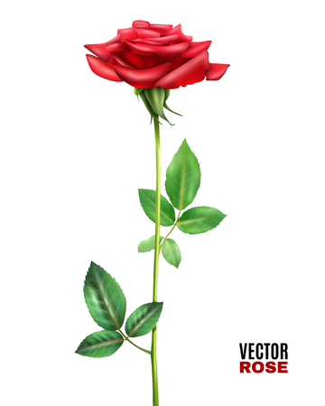 Beautiful blooming red rose flower with stalk and green leaves on white background realistic vector illustration Illustration