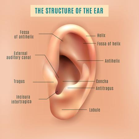 partie externe externe de la structure de l'oreille humaine image et définitions anatomie médicale affiche de fond éducative illustration vectorielle