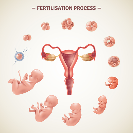 Colored poster with scheme of human fertilization process and embryo development in realistic style vector illustration Illustration