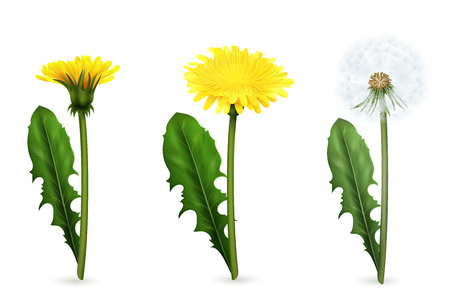 Set of realistic images of yellow and white dandelion flowers with leaves in different stages of flowering isolated vector illustration