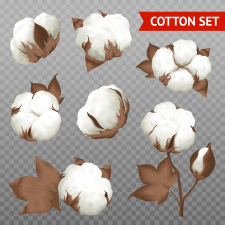 Ripe cotton boll fiber in opened seeds case realistic set plant parts isolated transparent background vector illustration
