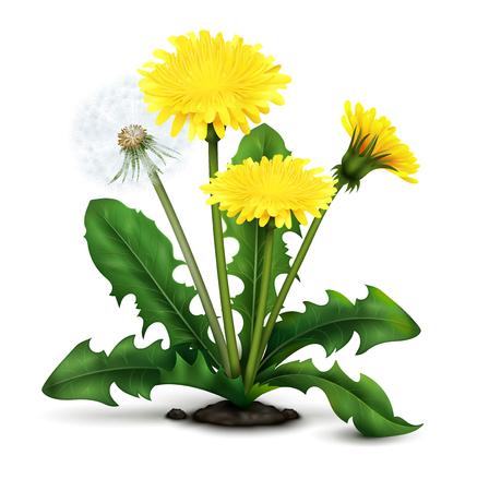 De realistische bloemen van de weidepaardebloem en pluis met bladeren op witte vectorillustratie als achtergrond Stock Illustratie
