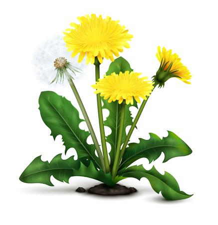 Realistic meadow dandelion flowers and fluff with leaves on white background vector illustration Ilustração