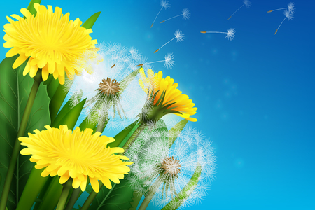 Realistic blooming dandelion and its flying seeds on blue design template, illustration. Illustration