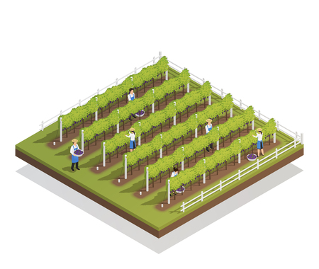 Viticulture isometric composition farmers engaged in harvesting on grape plantation isometric vector illustration 向量圖像