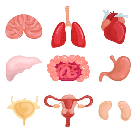 人間の内臓を肺脳肝子宮腸って心臓腎臓分離ベクトル図と設定します。 写真素材 - 91000648