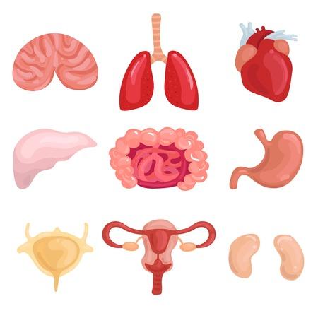 Menselijke interne organen instellen met longen hersenen lever baarmoeder darm stomack hart nier geïsoleerd vectorillustratie
