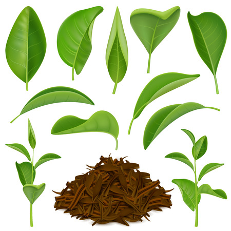 Set of realistic tea leaves with fresh green and dried foliage isolated on white background vector illustration Illustration