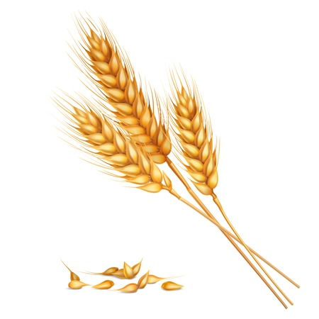 Realistic yellow ripe spikelets and grains of wheat composition on white background 3d vector illustration