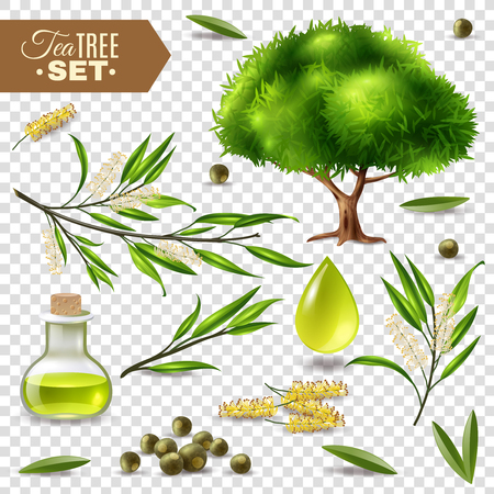 Botanical realistic set with tea tree flowers leaves and bottle with oil isolated on transparent background vector illustration