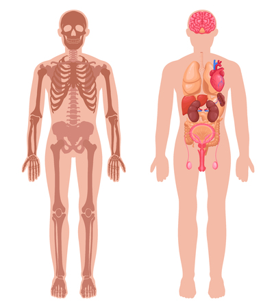 Human anatomy set with skeleton structure and internal organs in male body isolated vector illustration  イラスト・ベクター素材