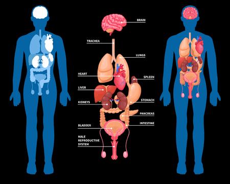 男性の体内の内臓の人間解剖レイアウト。黒い背景に隔離されています。ベクトルイラスト。