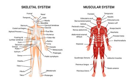 Anatomiediagramm für Muskel- und Skelettsysteme. Schließen Sie das pädagogische Führerplakat ab und menschliche Figur von der vorderen Vektorillustration anzeigen. Vektorgrafik