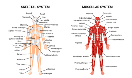 Muscular and skeletal systems anatomy chart. Complete educative guide poster, displaying human figure from front vector illustration.