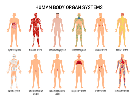 Main 12 human body organ systems flat educative anatomy physiology front back view flashcards poster vector illustration