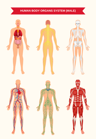 Male body internal organs circulatory nervous and skeletal systems anatomy and physiology flat educative poster vector illustration