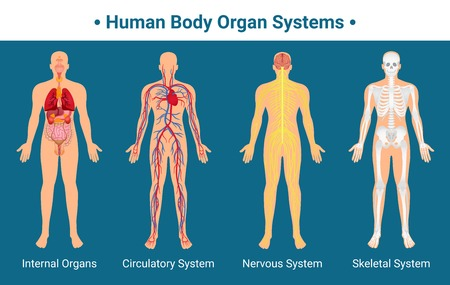Human body internal organs circulatory nervous and skeletal systems anatomy and physiology flat educative poster vector illustration