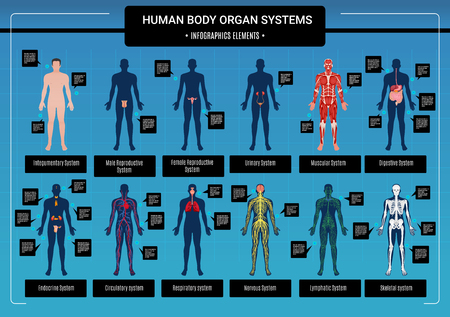 Human body internal organs circulatory nervous and skeletal systems anatomy and physiology flat educative infographics vector illustration