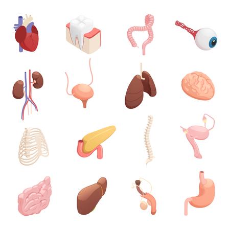 心臓肝臓肺脳胃膀胱腸隔離ベクターイラストを用いた人体解剖学的アイソメトリックアイコンコレクション
