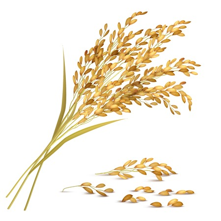 Rice ears and grain with harvest and agriculture symbols realistic vector illustration