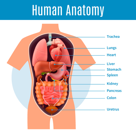 Human anatomy poster with body organs names realistic vector illustration