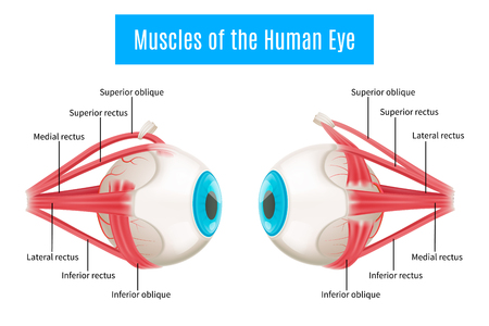 Diagramm infographics Plan der Augenanatomie 3d, der Muskeln des menschlichen Auges in der Seitenansicht mit Beschriftungsvektorillustration zeigt