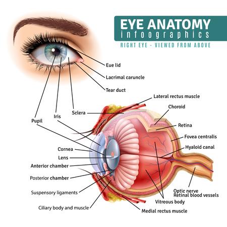 Infografía de anatomía del ojo humano con vista exterior y estructura interior de órgano sobre fondo blanco ilustración vectorial realista