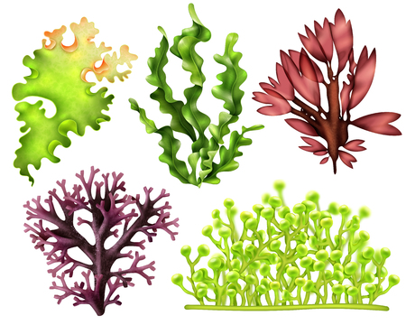 Set of realistic sea weeds Stock Illustratie