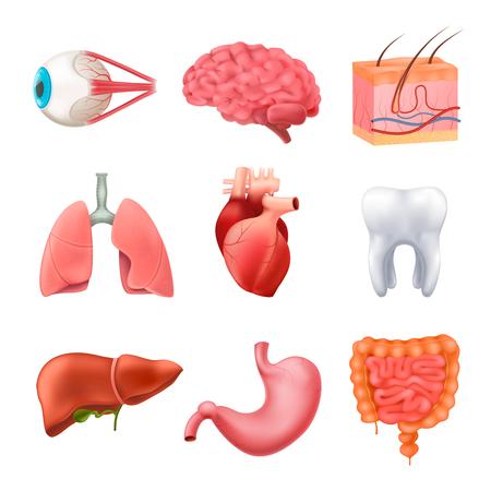 Set di anatomia degli organi interni umani Vettoriali