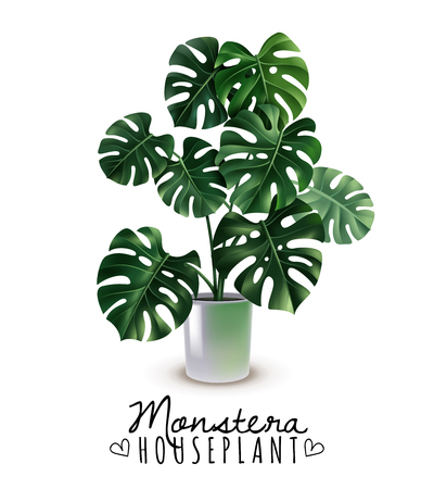 Realistic house plant monstera with carved leaves in glossy pot isolated on white background vector illustration Stock Illustratie