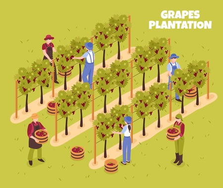 Grapes plantation during harvesting workers with baskets of ripe berries on green background isometric vector illustration