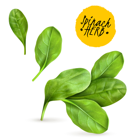 Fresh baby spinach leaves realistic popular vegetable image promoting healthy food cooked and raw herbs vector illustration