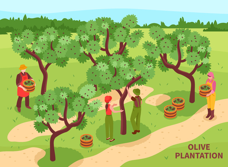 Olive plantation harvesting with farmers  hand picking fruit for traditional production of virgin oil isometric vector illustration