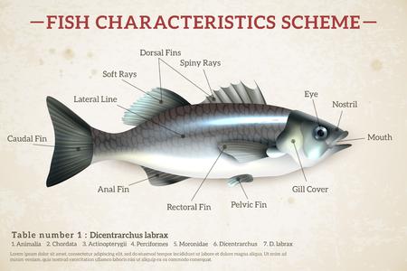Infographics di schema di pesce con spigola lucida e iscrizioni su vecchia carta sfondo illustrazione vettoriale Vettoriali