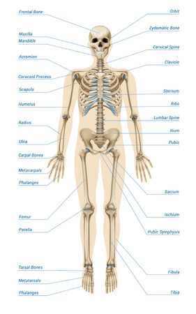 Realistic human skeletal system with letterings of bones infographics on white background vector illustration